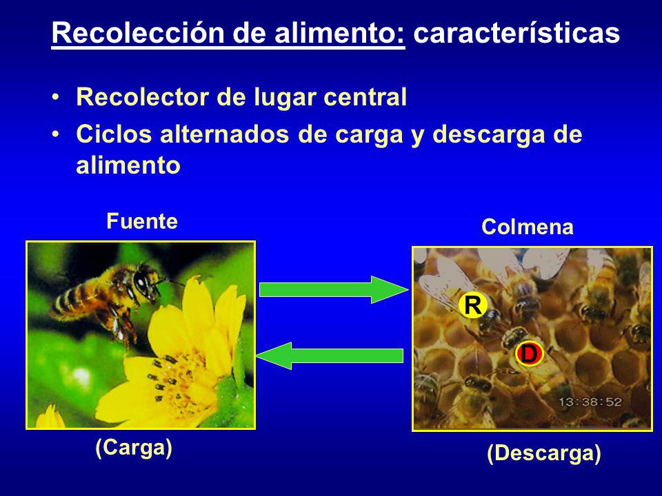 Recolector de lugar central Ciclos alternados de carga y descarga de alimento Fuente (Carga) D R Colmena (Descarga) Recolección de alimento: características