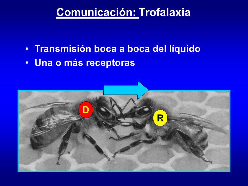 Comunicación: Trofalaxia D R Transmisión boca a boca del líquido Una o más receptoras
