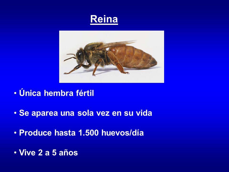 Obrera hembra estéril A cargo del mantenimiento de la colonia Vive entre 15/30 días (verano) o 4/5 meses (invierno)