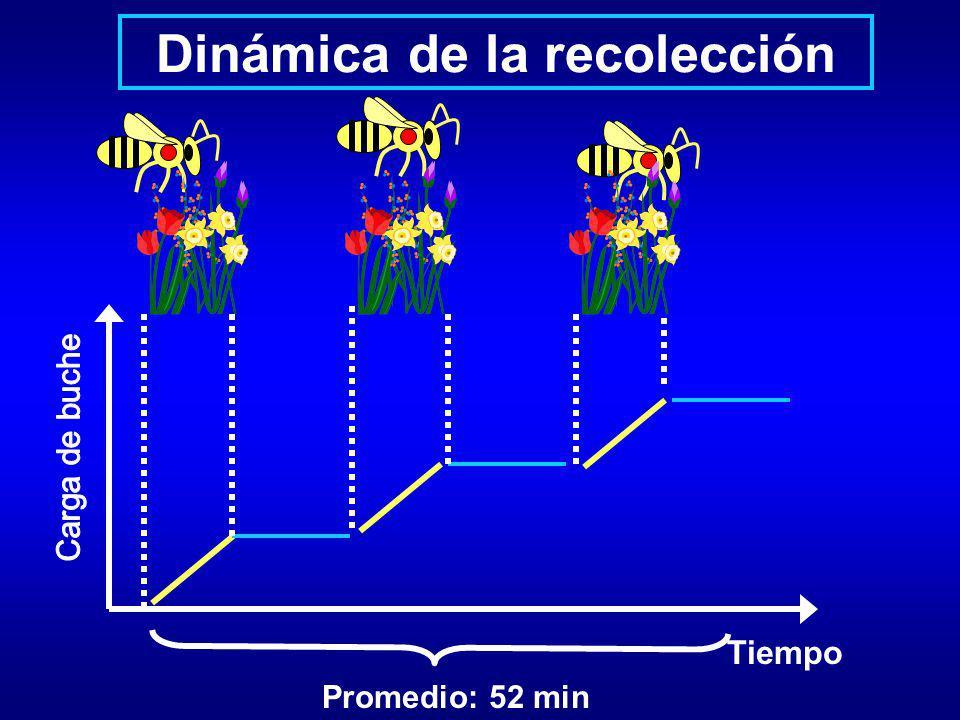 Dinámica de la recolección Tiempo Promedio: 52 min