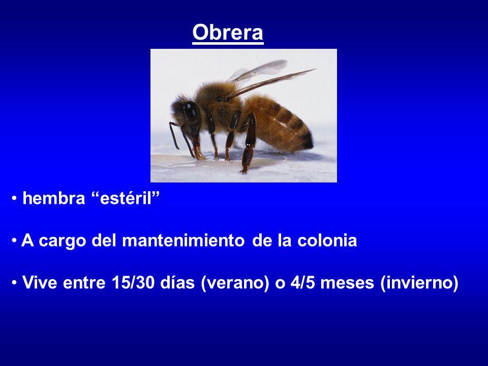 Desarrollo Puesta (reina) Alimentación (obrera) Crecimiento Cierre (obrera) Metamorfosis Eclosión Insecto Holometábolo