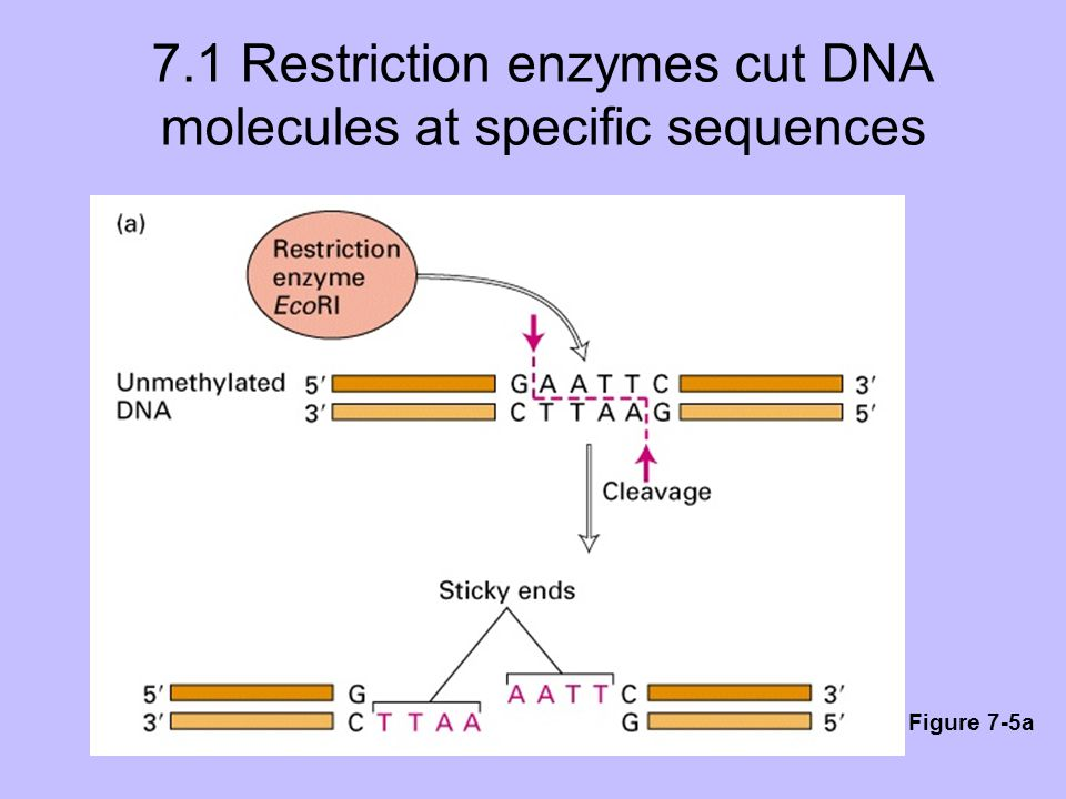 7.1 Restriction enzymes cut DNA molecules at specific sequences Figure 7-5a