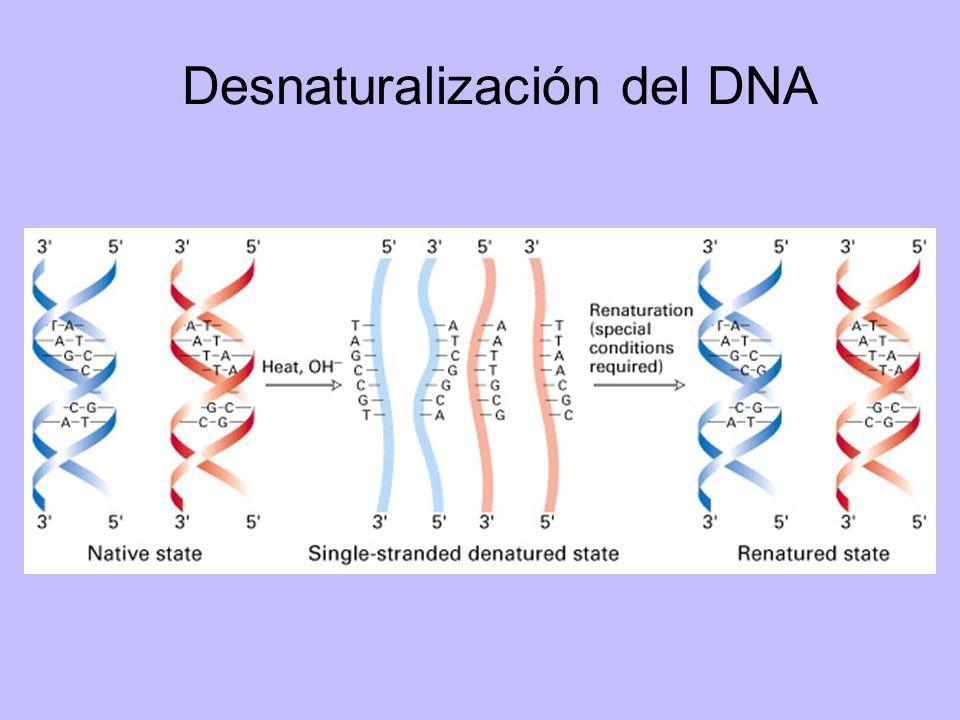 Instituto de Bioquímica y Biología Molecular Facultad de Ciencias Exactas - Universidad Nacional de La Plata Purificación de RNA Pasos fundamentales en la purificación efectiva disrupción de células o tejido desnaturalización de complejos nucleoproteicos inactivación de la ribonucleasa (RNAasa) endógena purificación del RNA de DNA y proteínas contaminantes El principal problema en la purificación es que el RNA es muy susceptible a la degradación.
