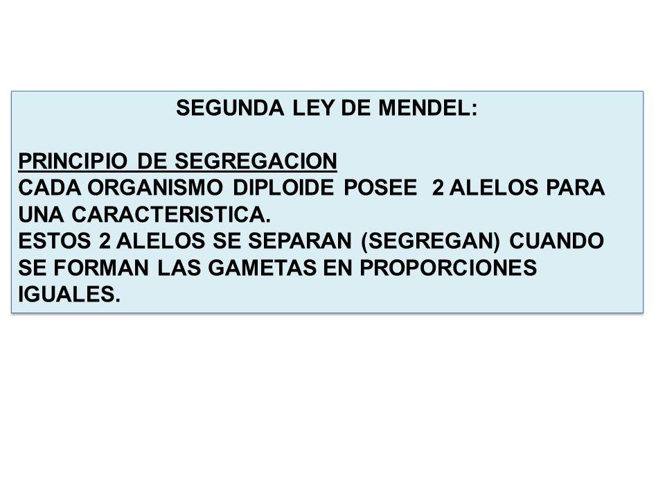 SEGUNDA LEY DE MENDEL: PRINCIPIO DE SEGREGACION CADA ORGANISMO DIPLOIDE POSEE 2 ALELOS PARA UNA CARACTERISTICA. ESTOS 2 ALELOS SE SEPARAN (SEGREGAN) C