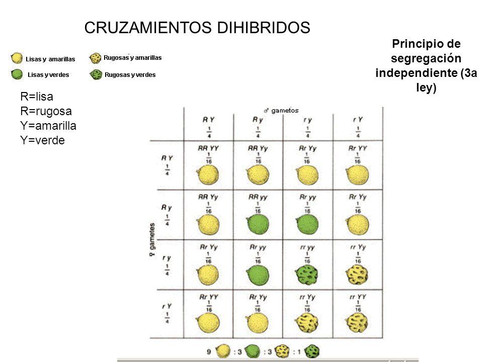 CRUZAMIENTOS DIHIBRIDOS Principio de segregación independiente (3a ley) R=lisa R=rugosa Y=amarilla Y=verde