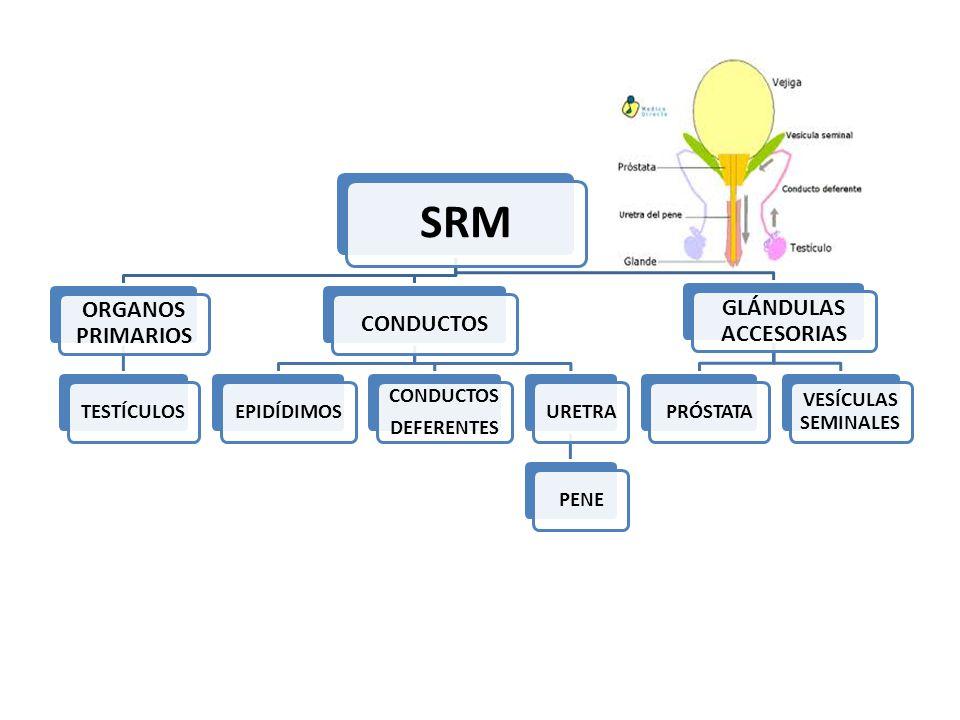SISTEMA REPRODUCTOR MASCULINO ESTRUCTURAFUNCIÓN Testículo (gónada masculina)Producir células sexuales ( espermatozoides) y hormonas sexuales ( testosterona) EpidídimoMaduración y activación de los espermatozoides Conducto deferente ( 30 cm)Conducción de los espermatozoides hacia la uretra Uretra ( 18 a 22 cm)Conducción de semen y orina hacia el exterior a través del meato uretral PróstataProducción de líquido que protege y nutre a los espermatozoides contenidos en el semen.