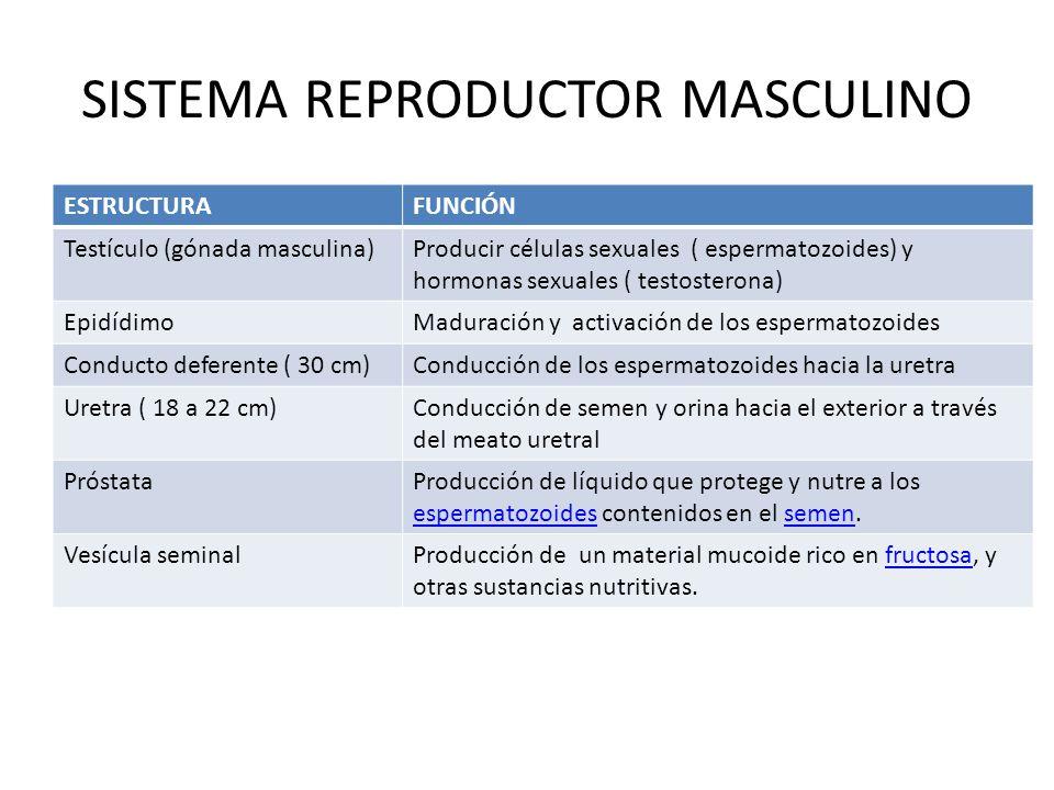 SISTEMA REPRODUCTOR MASCULINO ESTRUCTURAFUNCIÓN Testículo (gónada masculina)Producir células sexuales ( espermatozoides) y hormonas sexuales ( testost
