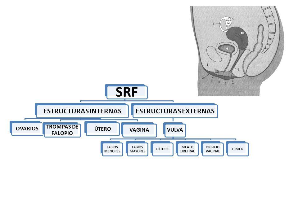SRF ESTRUCTURAS INTERNAS OVARIOS TROMPAS DE FALOPIO ÚTEROVAGINA ESTRUCTURAS EXTERNAS VULVA LABIOS MENORES LABIOS MAYORES CLÍTORIS MEATO URETRAL ORIFIC