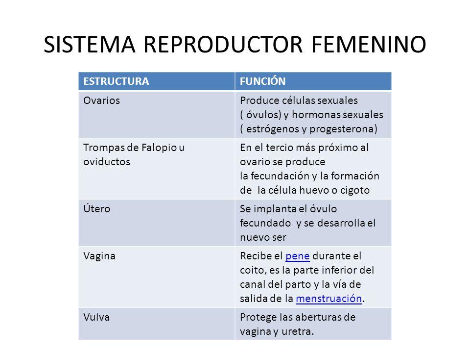 SISTEMA REPRODUCTOR FEMENINO ESTRUCTURAFUNCIÓN OvariosProduce células sexuales ( óvulos) y hormonas sexuales ( estrógenos y progesterona) Trompas de Falopio u oviductos En el tercio más próximo al ovario se produce la fecundación y la formación de la célula huevo o cigoto ÚteroSe implanta el óvulo fecundado y se desarrolla el nuevo ser VaginaRecibe el pene durante el coito, es la parte inferior del canal del parto y la vía de salida de la menstruación.penemenstruación VulvaProtege las aberturas de vagina y uretra.