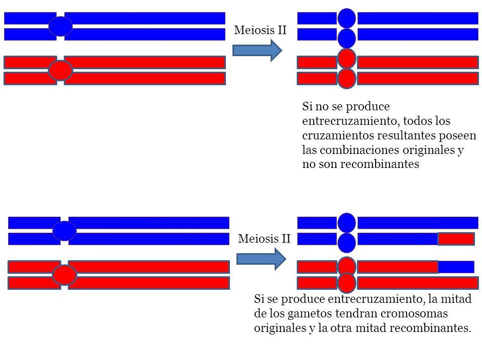 Meiosis II Si no se produce entrecruzamiento, todos los cruzamientos resultantes poseen las combinaciones originales y no son recombinantes Meiosis II