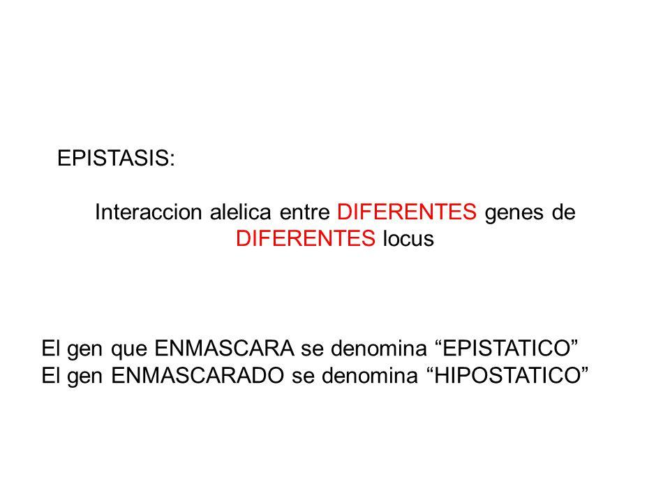 EPISTASIS: Interaccion alelica entre DIFERENTES genes de DIFERENTES locus El gen que ENMASCARA se denomina EPISTATICO El gen ENMASCARADO se denomina H