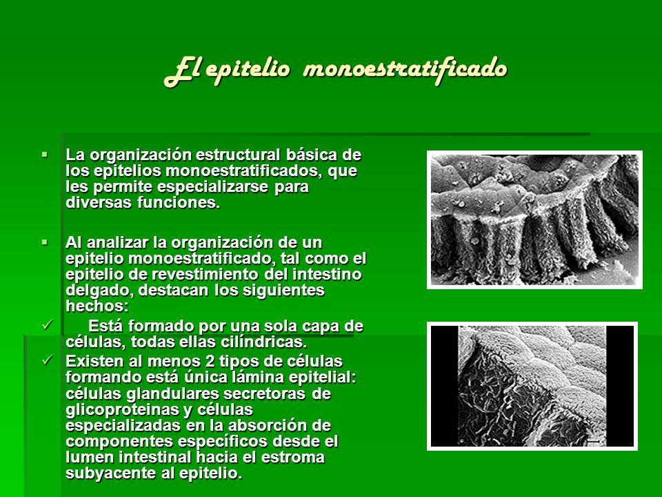 El epitelio monoestratificado La organización estructural básica de los epitelios monoestratificados, que les permite especializarse para diversas fun