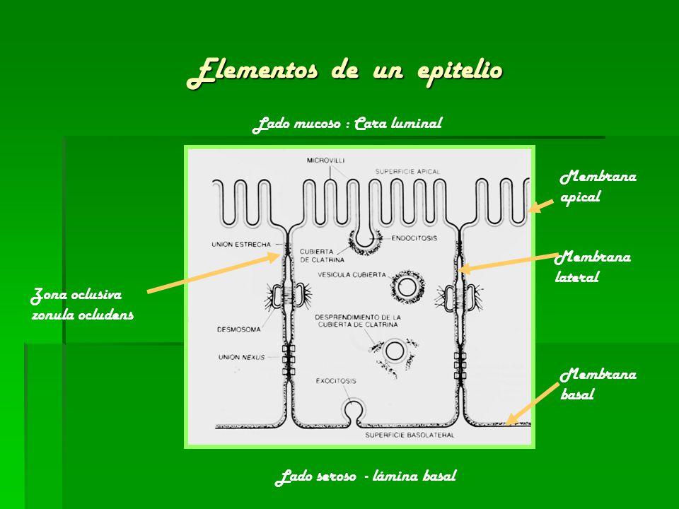 Elementos de un epitelio Membrana apical Membrana lateral Membrana basal Zona oclusiva zonula ocludens Lado seroso - lámina basal Lado mucoso : Cara l