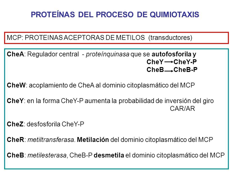 PROTEÍNAS DEL PROCESO DE QUIMIOTAXIS CheA: Regulador central - proteínquinasa que se autofosforila y CheY CheY-P CheB CheB-P CheW: acoplamiento de CheA al dominio citoplasmático del MCP CheY: en la forma CheY-P aumenta la probabilidad de inversión del giro CAR/AR CheZ: desfosforila CheY-P CheR: metiltransferasa.