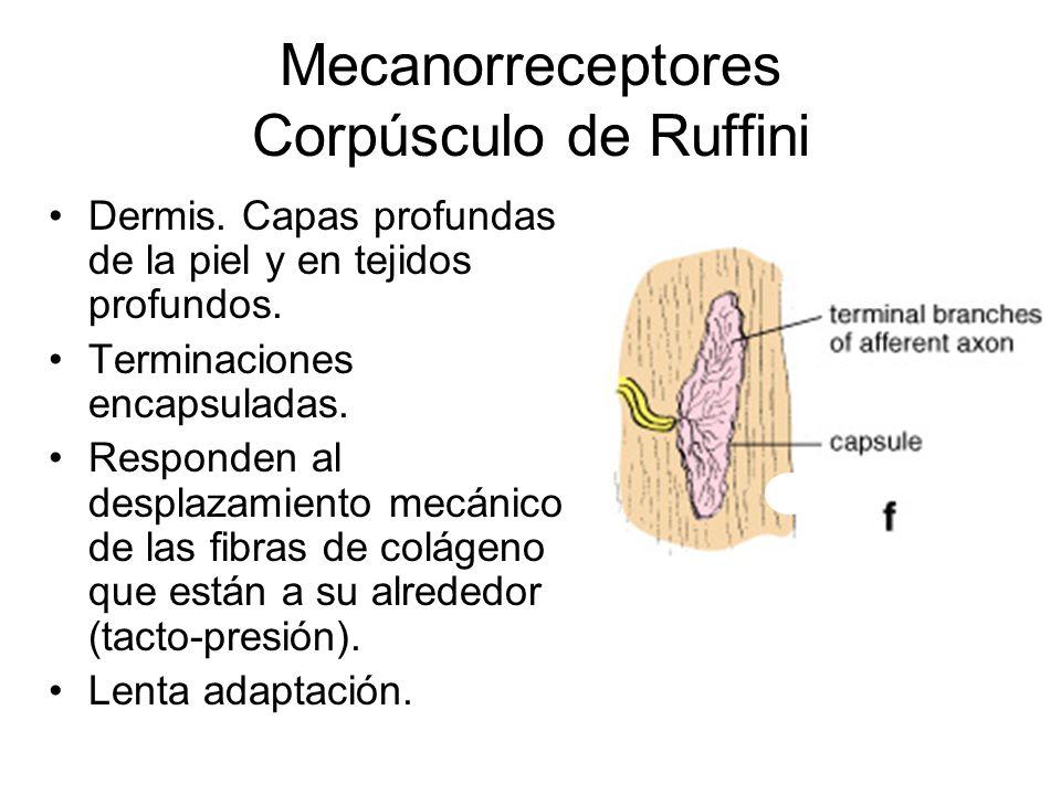 Mecanorreceptores Corpúsculo de Ruffini Dermis.Capas profundas de la piel y en tejidos profundos.