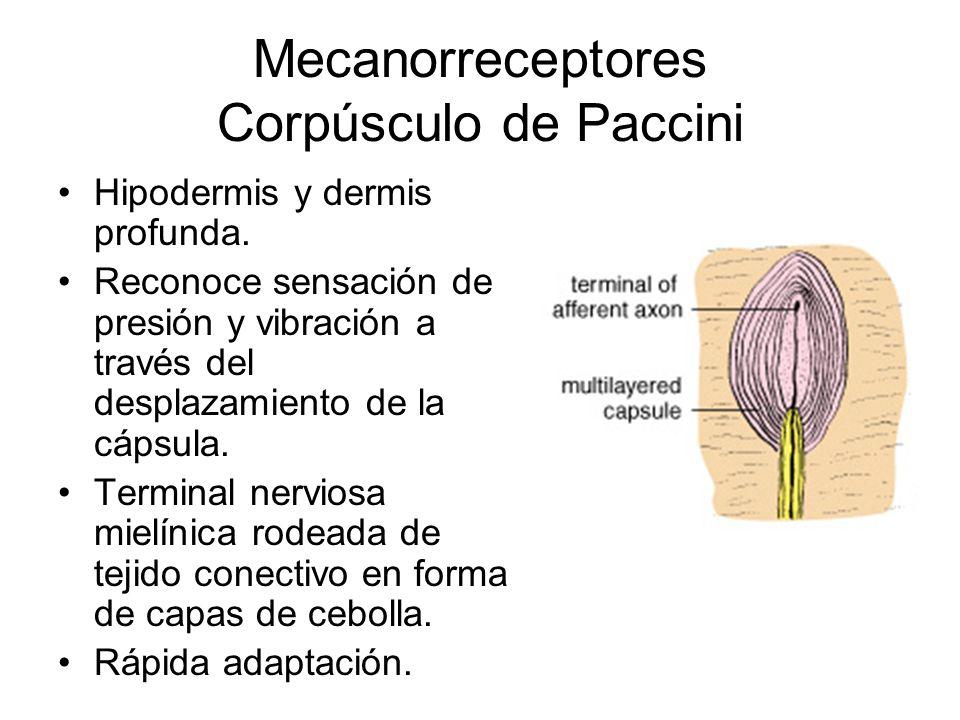 Mecanorreceptores Corpúsculo de Paccini Hipodermis y dermis profunda. Reconoce sensación de presión y vibración a través del desplazamiento de la cáps