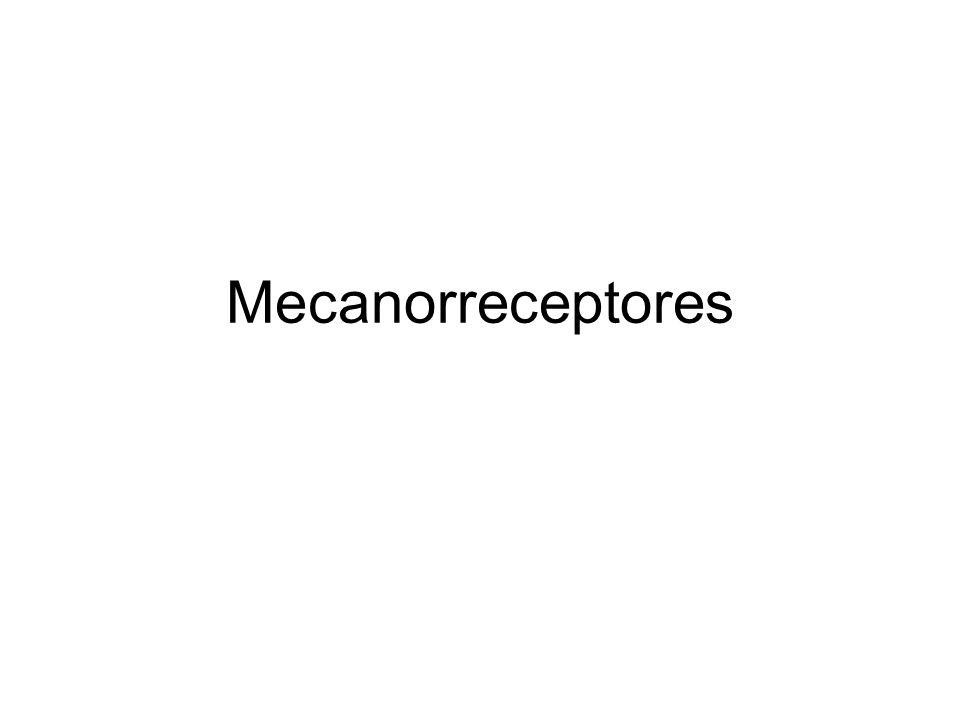 Mecanorreceptores Terminaciones nerviosas libres Estrato granuloso de la epidermis y en la dermis.