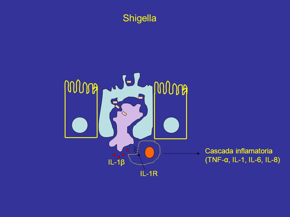 IL-1β IL-1R Cascada inflamatoria (TNF-α, IL-1, IL-6, IL-8) Shigella