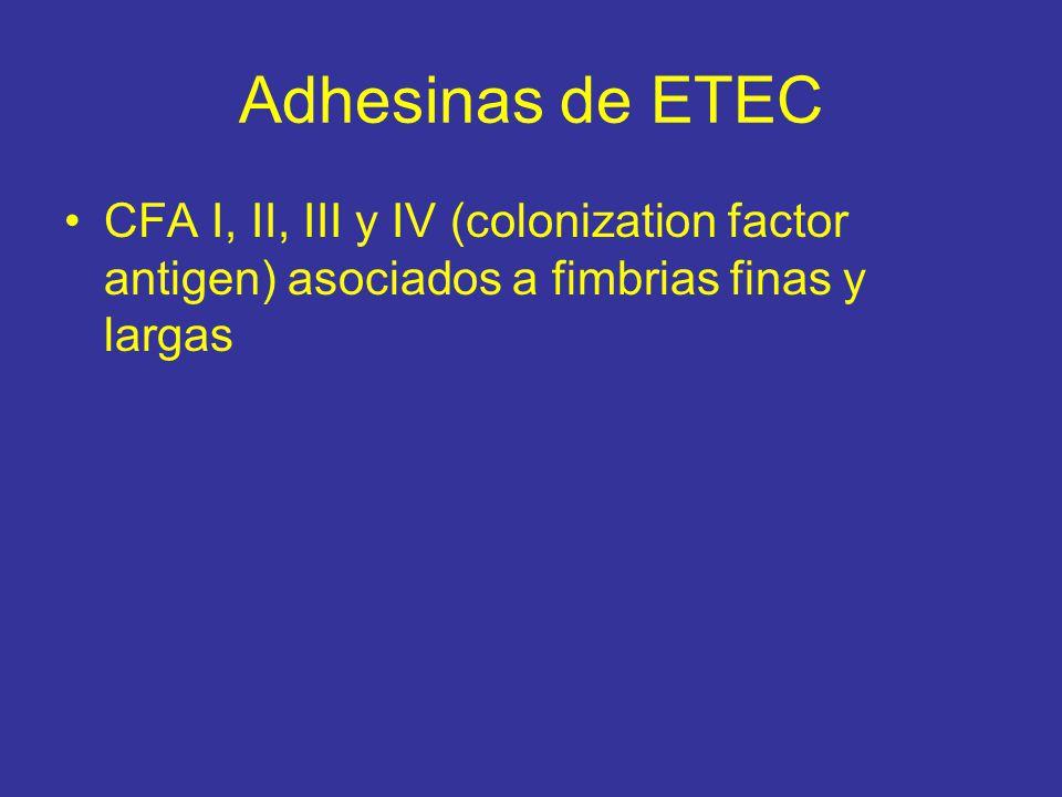 Adhesinas de ETEC CFA I, II, III y IV (colonization factor antigen) asociados a fimbrias finas y largas