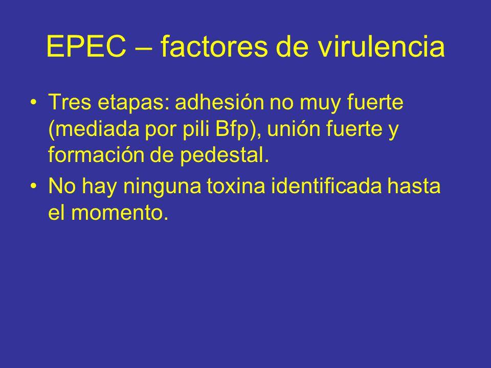 EPEC – factores de virulencia Tres etapas: adhesión no muy fuerte (mediada por pili Bfp), unión fuerte y formación de pedestal.