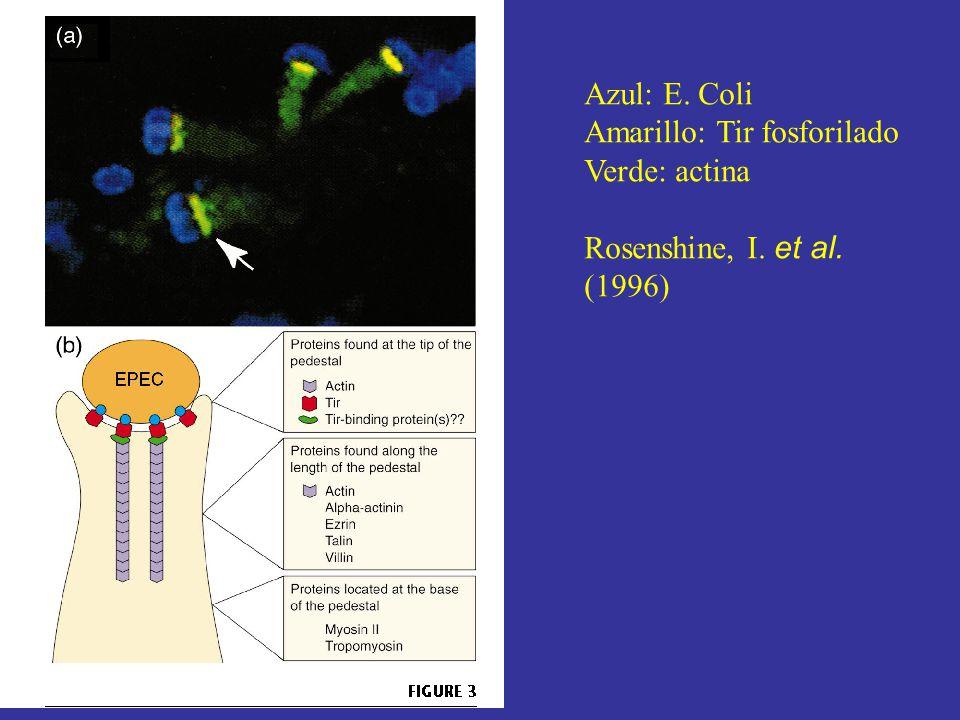 Azul: E. Coli Amarillo: Tir fosforilado Verde: actina Rosenshine, I. et al. (1996)