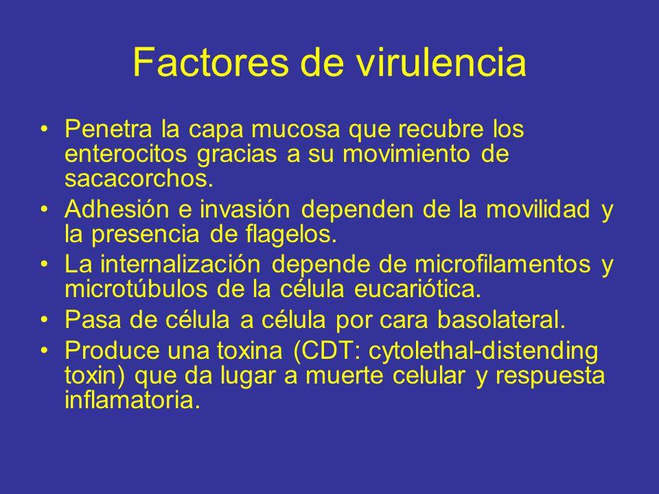 Factores de virulencia Penetra la capa mucosa que recubre los enterocitos gracias a su movimiento de sacacorchos.