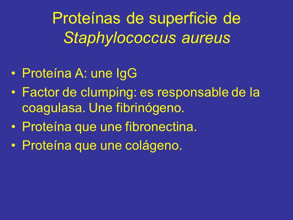 Proteínas de superficie de Staphylococcus aureus Proteína A: une IgG Factor de clumping: es responsable de la coagulasa.