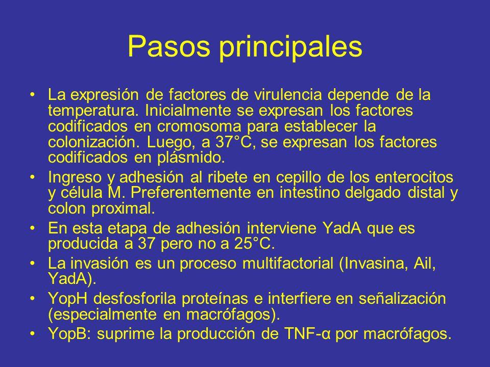 Pasos principales La expresión de factores de virulencia depende de la temperatura.