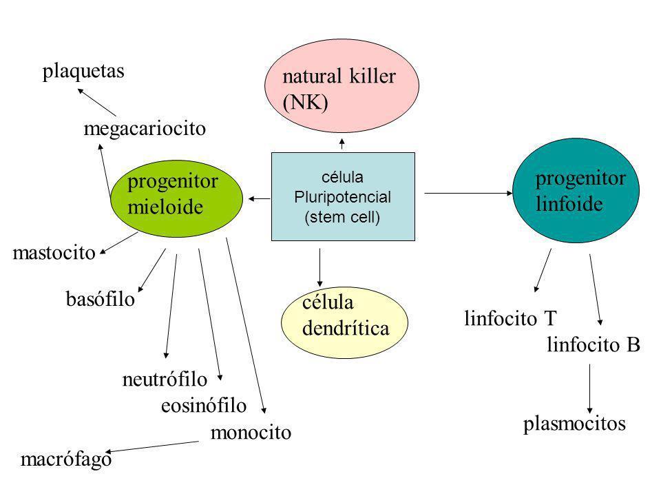 célula Pluripotencial (stem cell) natural killer (NK) progenitor linfoide progenitor mieloide célula dendrítica plaquetas megacariocito mastocito basó
