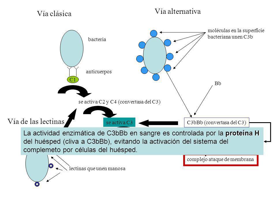 bacteria anticuerpos C1 se activa C2 y C4 (convertasa del C3)se activa C3se activa C5 une C6, C7, C8 y C9 complejo ataque de membrana moléculas en la