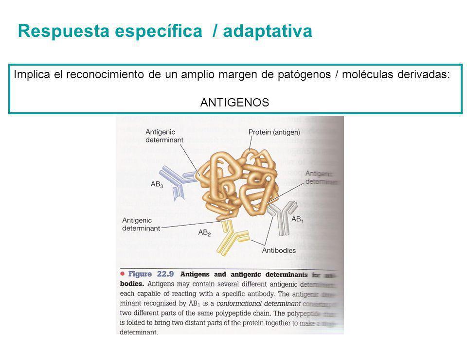 Respuesta específica / adaptativa Implica el reconocimiento de un amplio margen de patógenos / moléculas derivadas: ANTIGENOS