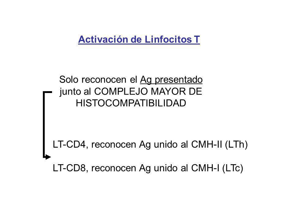 Activación de Linfocitos T Solo reconocen el Ag presentado junto al COMPLEJO MAYOR DE HISTOCOMPATIBILIDAD LT-CD4, reconocen Ag unido al CMH-II (LTh) L