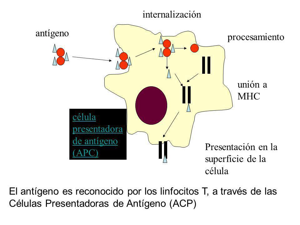antígeno internalización procesamiento unión a MHC Presentación en la superficie de la célula presentadora de antígeno (APC) El antígeno es reconocido