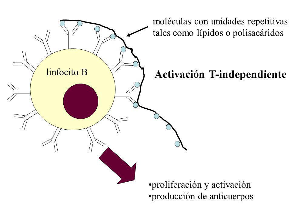 moléculas con unidades repetitivas tales como lípidos o polisacáridos proliferación y activación producción de anticuerpos Activación T-independiente