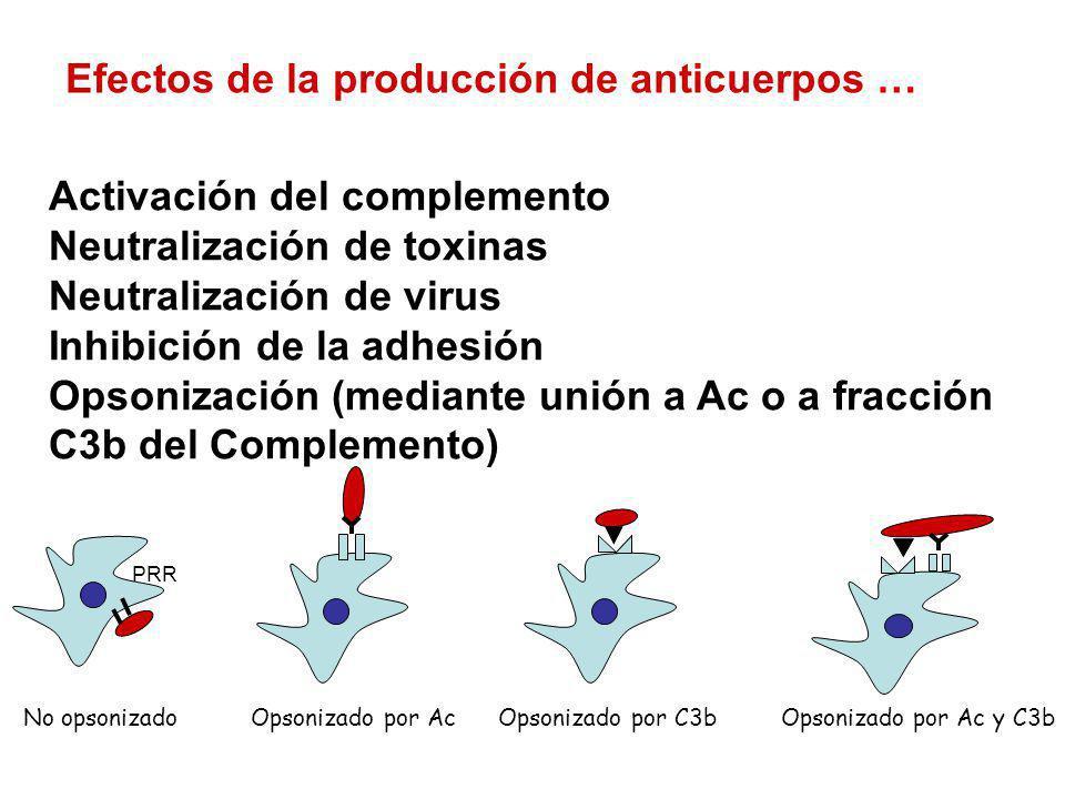 Efectos de la producción de anticuerpos … Activación del complemento Neutralización de toxinas Neutralización de virus Inhibición de la adhesión Opson