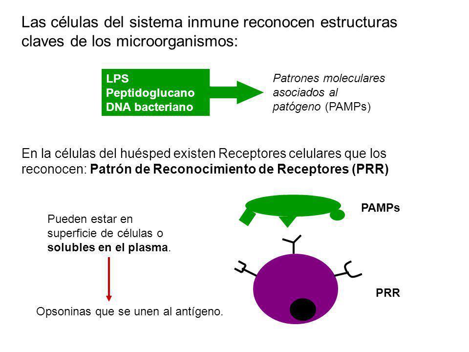Las células del sistema inmune reconocen estructuras claves de los microorganismos: Patrones moleculares asociados al patógeno (PAMPs) LPS Peptidogluc