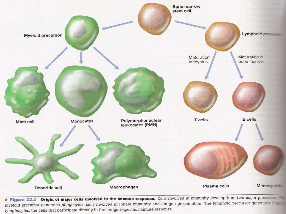 célula Pluripotencial (stem cell) natural killer (NK) progenitor linfoide progenitor mieloide célula dendrítica plaquetas megacariocito mastocito basófilo neutrófilo eosinófilo monocito macrófago linfocito T linfocito B plasmocitos
