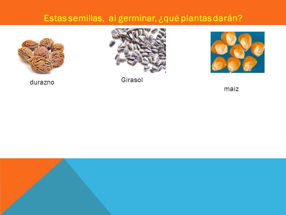 Estas semillas, al germinar, ¿qué plantas darán? durazno Girasol maiz