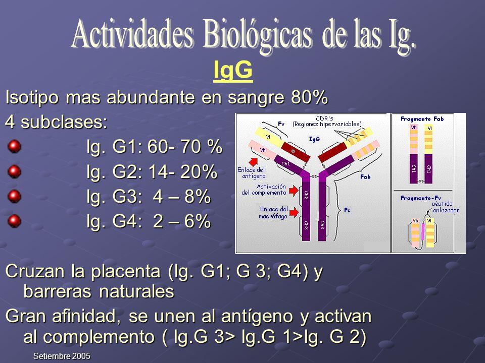 Setiembre 2005 Isotipo mas abundante en sangre 80% 4 subclases: Ig. G1: 60- 70 % Ig. G1: 60- 70 % Ig. G2: 14- 20% Ig. G2: 14- 20% Ig. G3: 4 – 8% Ig. G
