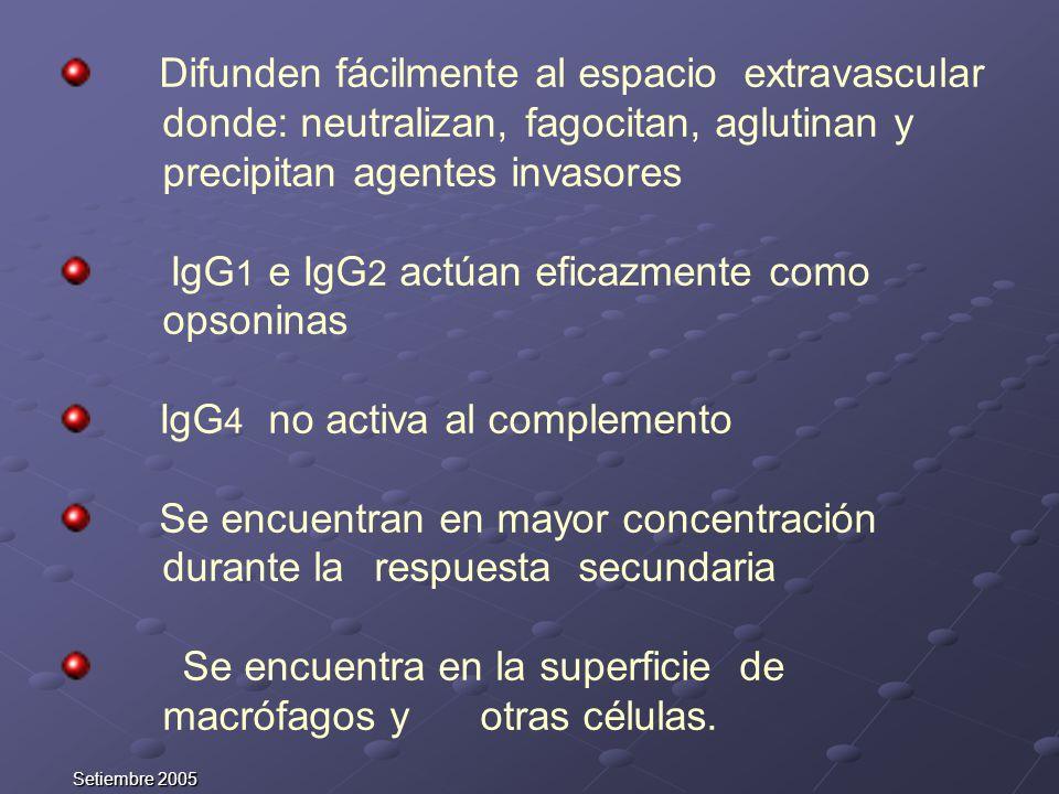 Setiembre 2005 Difunden fácilmente al espacio extravascular donde: neutralizan, fagocitan, aglutinan y precipitan agentes invasores IgG 1 e IgG 2 actú