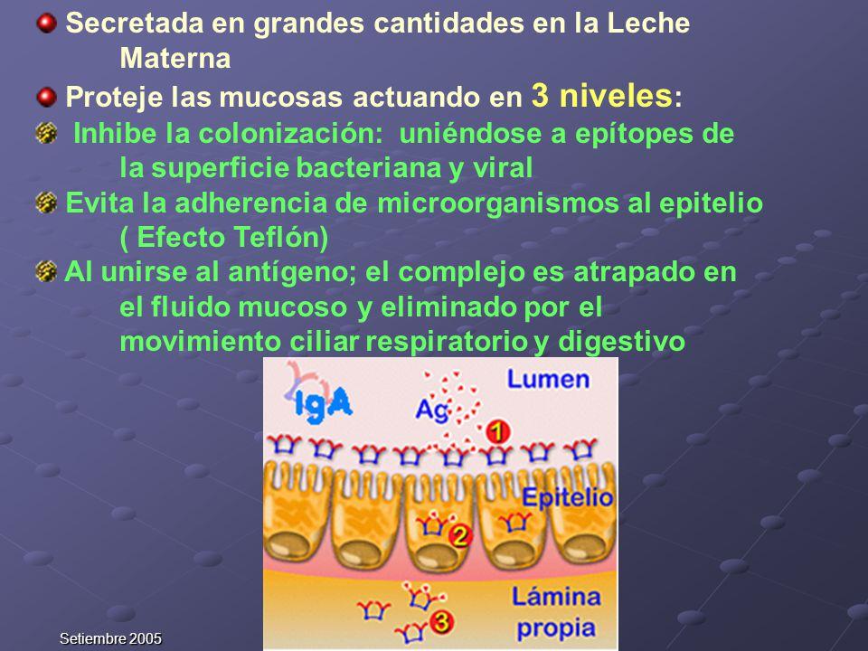 Setiembre 2005 Secretada en grandes cantidades en la Leche Materna Proteje las mucosas actuando en 3 niveles : Inhibe la colonización: uniéndose a epí