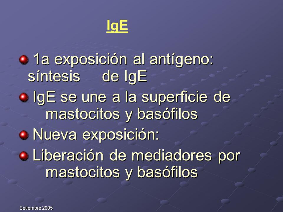 Setiembre 2005 1a exposición al antígeno: síntesis de IgE 1a exposición al antígeno: síntesis de IgE IgE se une a la superficie de mastocitos y basófi
