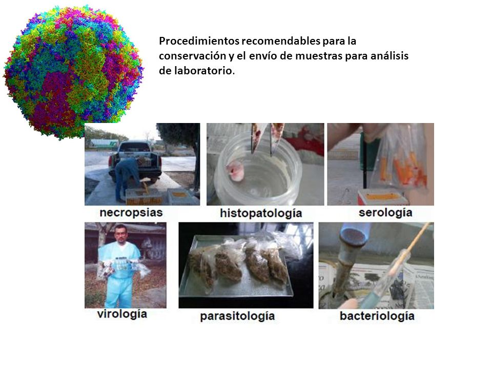 DIAGNÓSTICO DE LABORATORIO IDENTIFICACIÓN DEL AGENTE DETECCIÓN COMPONENTES VIRALES DETECCIÓN RESPUESTA INMUNE AISLAMIENTOVISUALIZACIÓNGENOMA SUSTRATOS Animales lab.