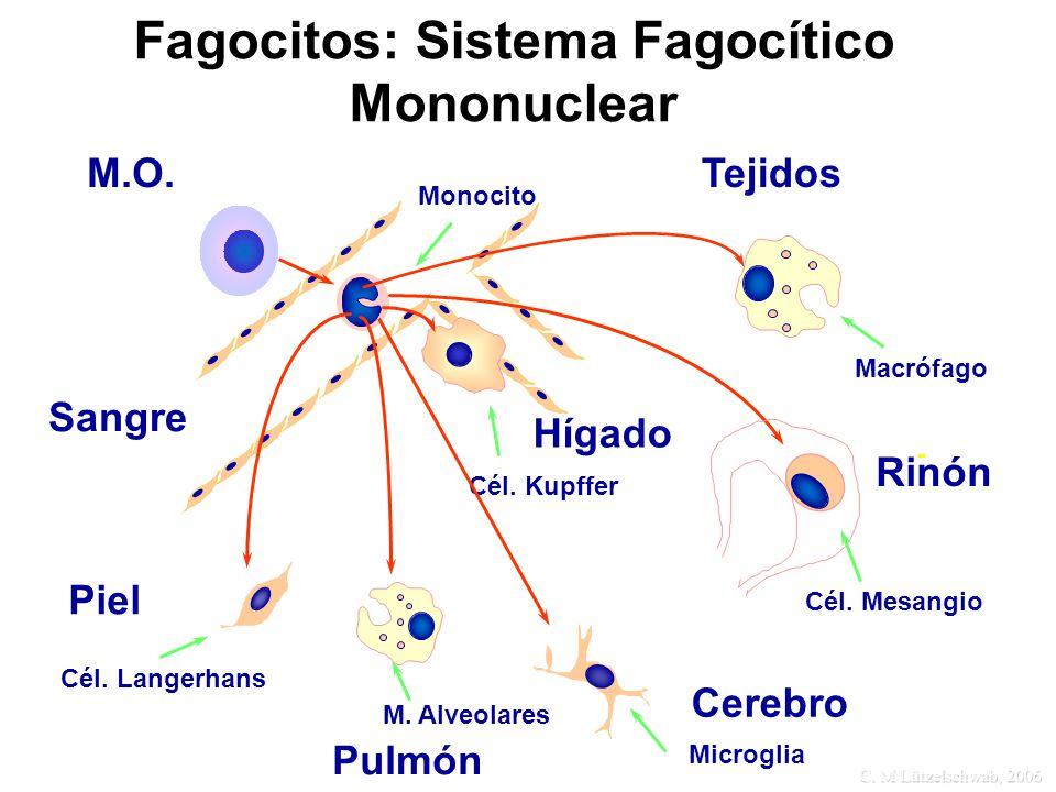 C. M Lützelschwab, 2006 Fagocitos: Sistema Fagocítico Mononuclear M.O. Monocito Tejidos Macrófago Rinón Cél. Mesangio Hígado Cél. Kupffer Cerebro Micr