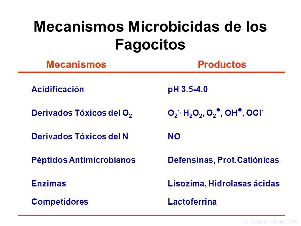 C. M Lützelschwab, 2006 Mecanismos Microbicidas de los Fagocitos ProductosMecanismos AcidificaciónpH 3.5-4.0 Derivados Tóxicos del O 2 O 2 -, H 2 O 2,