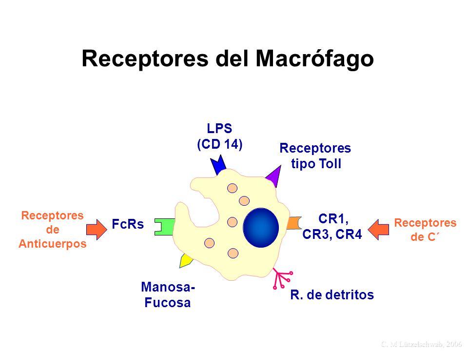 C. M Lützelschwab, 2006 Receptores del Macrófago LPS (CD 14) Manosa- Fucosa FcRs R. de detritos Receptores de Anticuerpos Receptores de C´ CR1, CR3, C