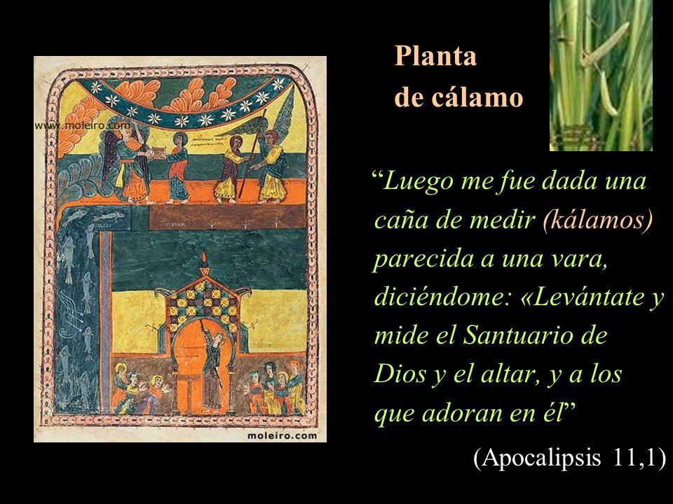 Planta de cálamo Luego me fue dada una caña de medir (kálamos) parecida a una vara, diciéndome: «Levántate y mide el Santuario de Dios y el altar, y a los que adoran en él (Apocalipsis 11,1)