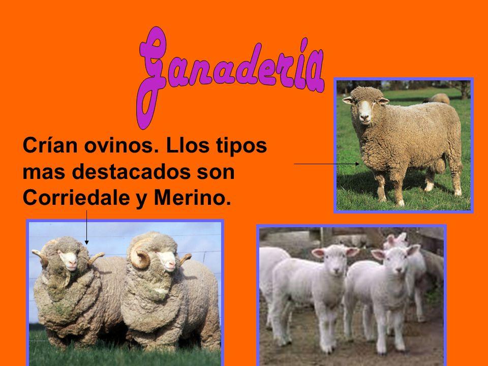 Crían ovinos. Llos tipos mas destacados son Corriedale y Merino.