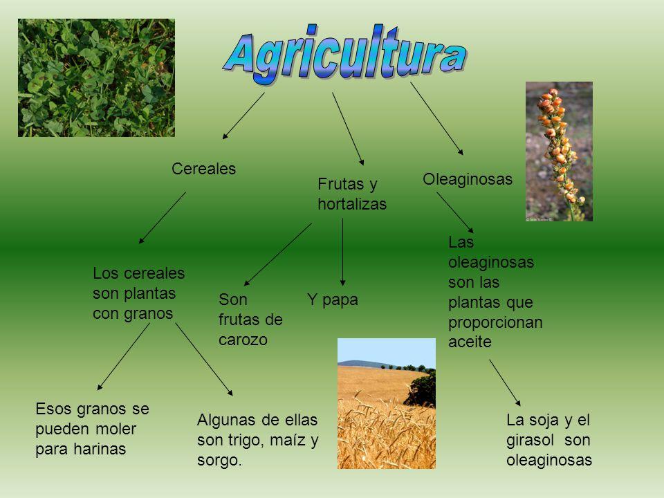 Cereales Oleaginosas Las oleaginosas son las plantas que proporcionan aceite Los cereales son plantas con granos Esos granos se pueden moler para hari