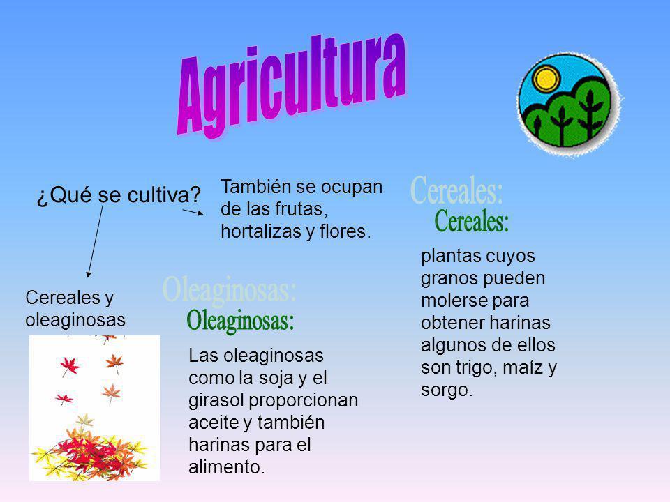 ¿Qué se cultiva? Cereales y oleaginosas También se ocupan de las frutas, hortalizas y flores. plantas cuyos granos pueden molerse para obtener harinas